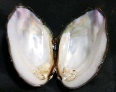 FRESH WATER MUSSEL SHELL 3 1/4 INCHES x2 CRAFT MOTHER OF PEARL INSIDE SMUDGE