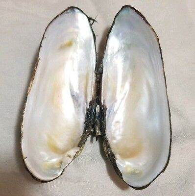 10pcs Verdigris Patina Freshwater Mussel Conch Shell Charms Pendant