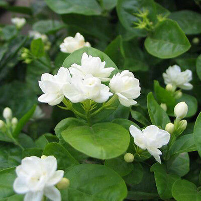 20 Pcs Jasmine Plant Seeds Perennial Flowers Seeds Home Garden Decor Pure White