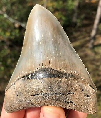 """Megalodon Shark Tooth 4.15"""" Museum Quality Extinct Fossil NOT RESTORED (M-39)"""