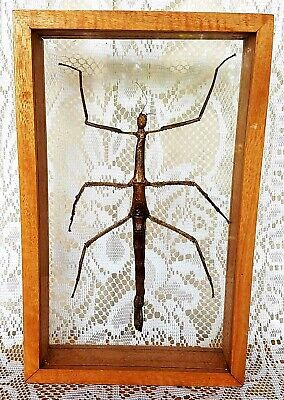 Real- Stick Insect - Family Phasmatidae Taxidermy Lepidoptera Entomology Awesome