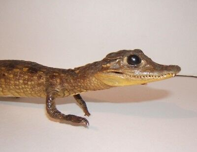 Real Stuffed Baby Caimen or Alligator Authentic Vintage Taxidermy 16""
