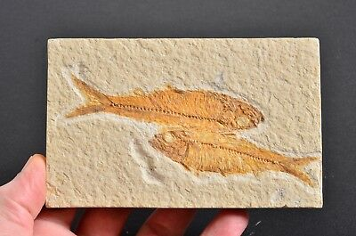 Double FISH fossil, Green River, Wyoming