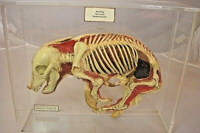 Taxidermy Fetal Pig Skeleton After Damian Hirst  L@@K