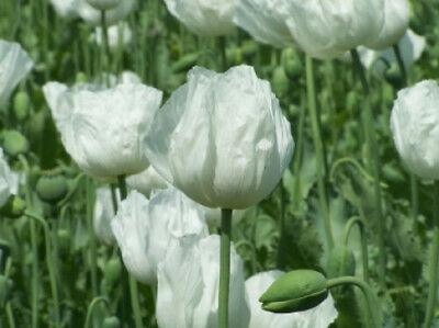 Weisser Mohn - Papaver somniferum - White Seeded Poppy 100+ Samen Saatgut Seeds