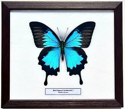 Real Papilio Ulysses Butterfly In Framed Display: Insect Taxidermy
