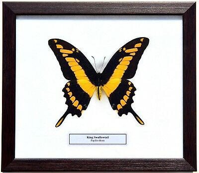 Real Papilio Thoas; King Swallowtail Butterfly In Framed Display: Taxidermy