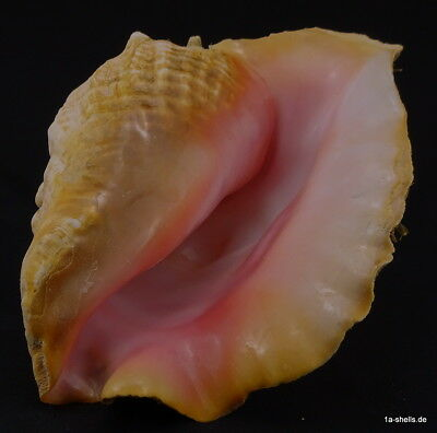 strombus gigas best fresh perefct quality ! CITES incl. ! massive 1A PINK 245 mm