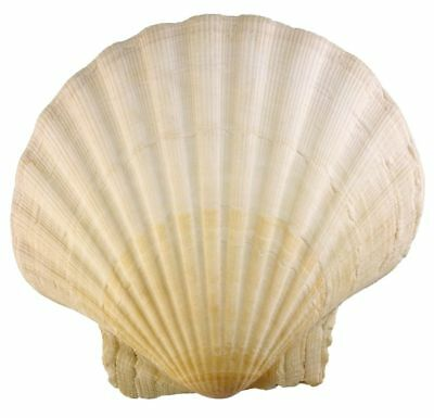 Small & Large Extra Large Scallop Shells 10-11cm  Prepared to Food Standards