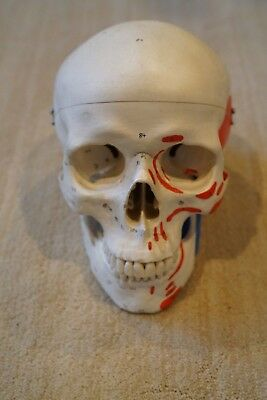 Human medical quality anatomical skull model with muscle markings, resin, 3 part
