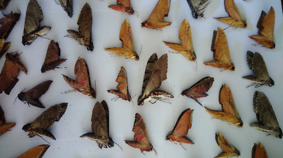 25 x Sphingidae mix A1 framing Ex Thai/Myanmar real insect taxidermy stunning!
