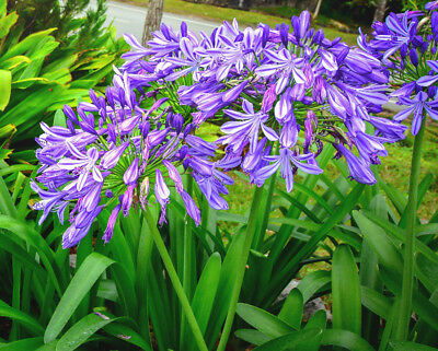 LILY OF THE NILE 100 SEEDS Agapanthus beautiful blue flowers, EZ to grow
