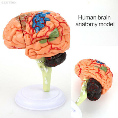 064D PVC Brain Anatomy Model Medical Teaching Model 4D Manual Detachable