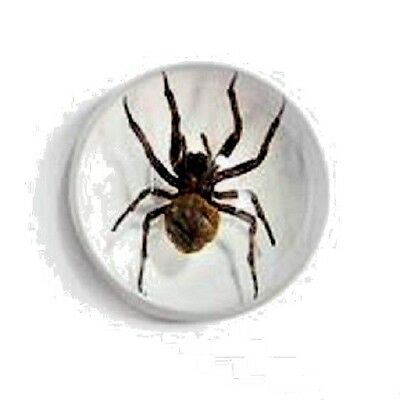 spider paperweight woif spider half dome resin glow in dark real thing scary!