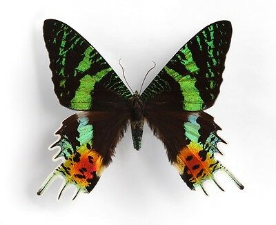 Magnificent Day Flying Sunset Moth Urania ripheus Papered FAST SHIP FROM USA