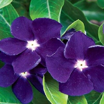 Ex086 Vinca Jams 'n' Jellies Blackberry x20 seeds