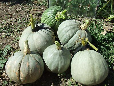 Pumpkin MORMON-Pumpkin Seeds-SWEET & TASTY COMMUNITY FAVOURITE-15 FRESH SEEDS.