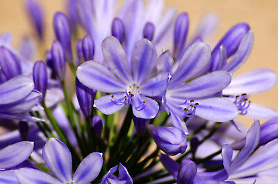 LILY OF THE NILE 101 SEEDS Agapanthus large, beautiful blue flowers, EZ to grow