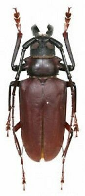 Dorysthenes buqueti 70mm LARGE beetle papered A1 Real Insect taxidermy Thailand