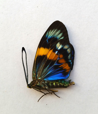 5 x Eterusia repleta male .day flying moth butterfly A1Real Insect taxidermy