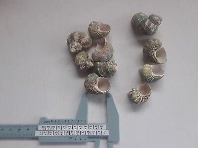 10   Tiny  Small Hermit Crab Shells FREE SHIPPING!