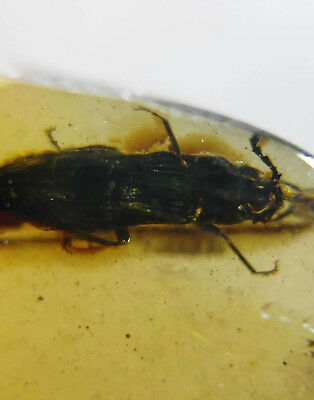 Very rare unknown beetle burmite Myanmar Amber insect fossil from dinosaur age