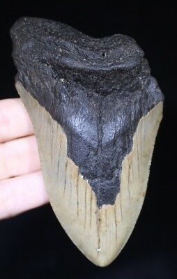 """Authentic Megalodon Shark Tooth 4.49"""" Extinct Fossil NOT RESTORED  (ESB19-177)"""