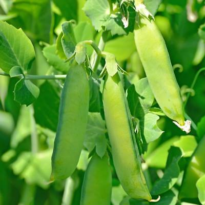 Snow pea Mammoth Melting 20 seeds - FREE POSTAGE ~ Yes we send to Tas