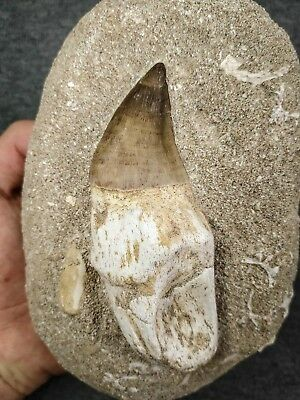 C116 - Huge Rooted 4.04 Inch PROGNATHODON (Mosasaur) Tooth Cretaceous