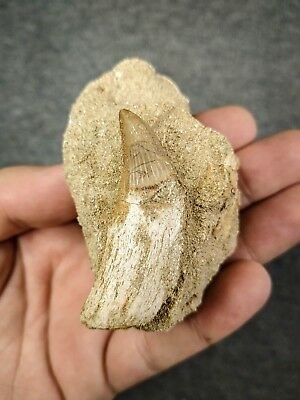C120 - Rare Rooted PLATECARPUS PTYCHODON (Mosasaur) Tooth Cretaceous