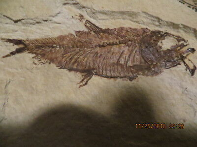 Excellent Quality Fish Fossil Fat (Diplomystus dentatus)  Nice Rock, Free Ship