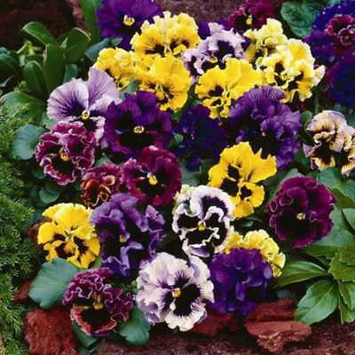 40 Winter Flowering Pansy Frizzle Sizzle Mixed  Bedding  Plug plants