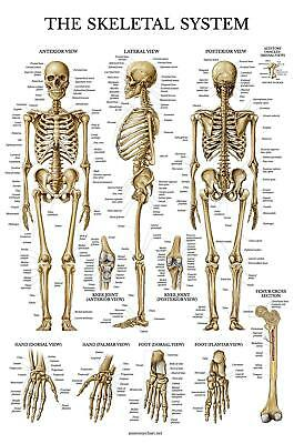 Skeletal System Anatomical Chart - LAMINATED - Human Skeleton Anatomy Poster - D