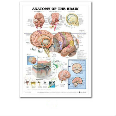 Human Anatomy of the Brain Poster Anatomical Chart Human Body Midcal Education
