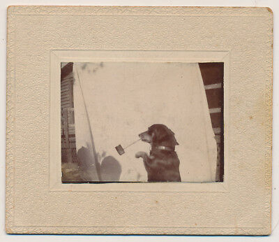 DACHSHUND DOG SMOKING PIPE w BACKDROP c1905 PET TRICK CABINET CARD photo ANTIQUE