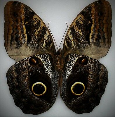 Amazing Placid Owl Butterfly Caligo placidianus Folded FAST FROM USA