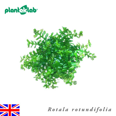 Live Aquarium Plants In Vitro Shrimp Safe UK - Rotala rotundifolia