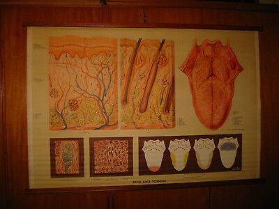 ANTIQUE UK HUMAN BODY SKIN AND TONGUE CANVAS SCHOOL MAP MAPPA CARTE KARTE 1960s