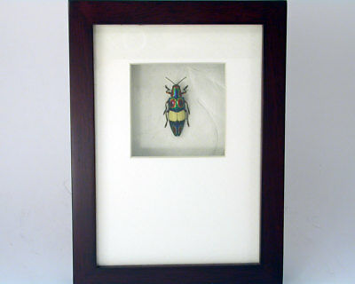 Brilliant buprestid beetle - C. ephipigera-Real Framed Insect