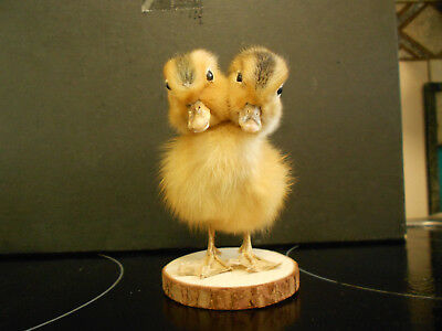 Taxidermy two headed duckling yellow cute