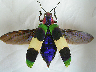 Rare Jewel beetle - C. corbetti -Real Framed Insect