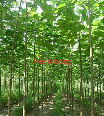 200seeds/pack fast growing tree Paulownia seeds