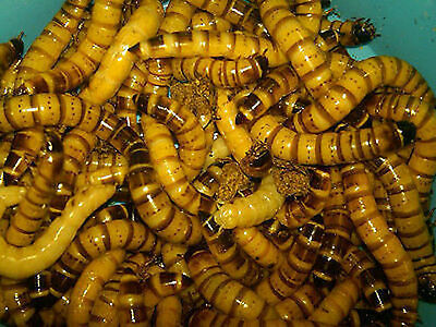 50 - Live Superworms Free Shipping