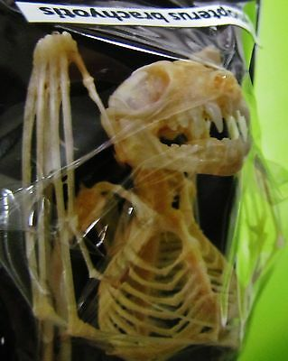 Lesser Short-nosed Fruit Bat Cynopterus brachyotis Skeleton FAST FROM USA