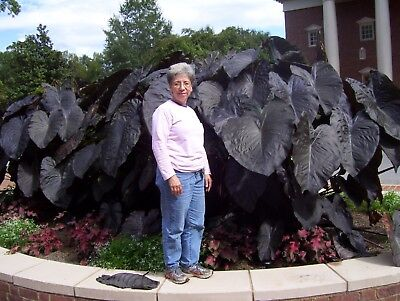 Colocasia 'Black Magic' poolside marginal water loving tropical exotic plant