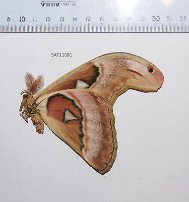 Saturniidae.Unmounted.Attacus lorquini Philippines Luzon Male SAT11081