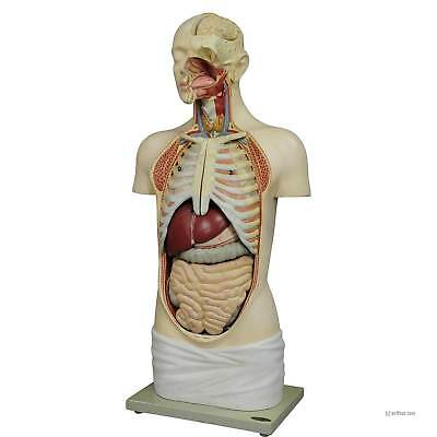 great male anatomical bust by Louis M. Meusel, circa 1920