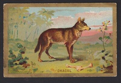 SUPERBE Image animal - Chacal - 1937 - Ecole de garçon - Berthelot