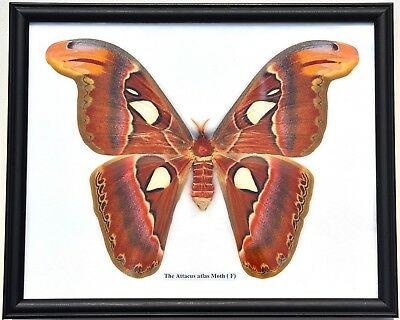 Real Attacus Atlas Moth ( Female ) In Framed Display. Giant Taxidermy