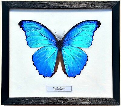 Real Morpho Didius Butterfly; Giant Blue Morpho : Framed Display
